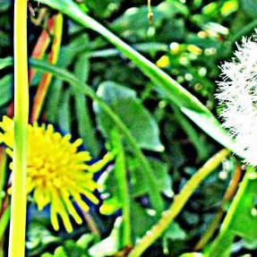 dandelions4